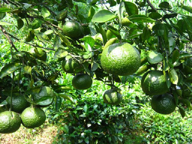 Cam sành là loại trái cây được tiêu thụ nhiều hiện nay