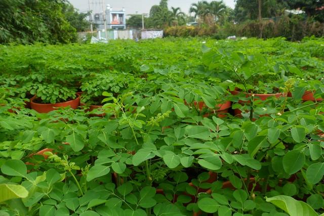 Tìm hiểu kỹ thuật trồng cây chùm ngây cho năng suất và chất lượng cao