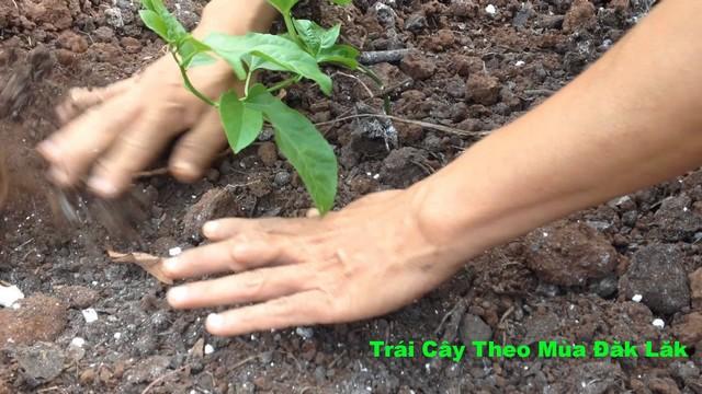 Đất trồng chanh dây cần canh tác đúng cách để hỗ trợ quá trình phát triển của cây giống