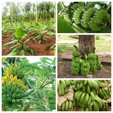 Tìm hiểu kỹ thuật trồng chuối sớm cho thu hoạch, đem đến lợi nhuận cao