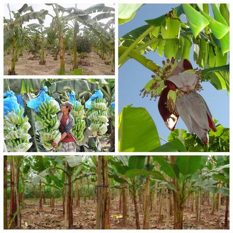 Chuối trồng đúng kỹ thuật sẽ cho thu hoạch sớm, sản lượng cao