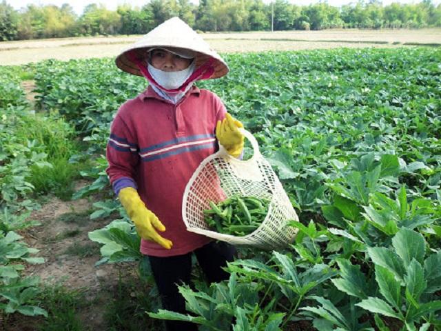 Đậu bắp không nên thu hoạch khi quá già vì sẽ không đảm bảo dinh dưỡng và vị ngon