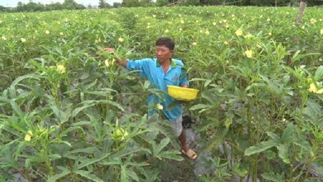 Có nhiều giống đậu bắp trên thị trường cho năng suất cao và hạn chế được nguồn bệnh