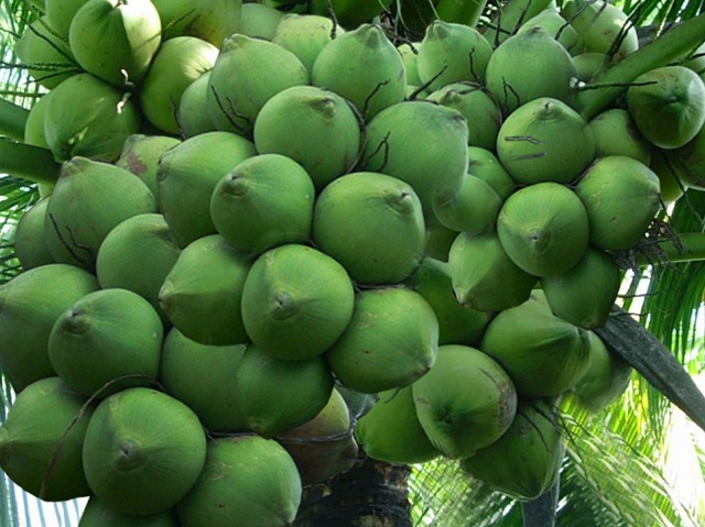Dừa Xiêm Lùn có trái ngọt với giá bán từ 10.000đ/quả