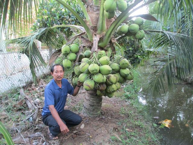 Cây dừa Xiêm Lùn cho thu hoạch chỉ sau 2 năm