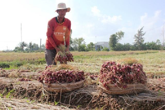 Hành củ thích hợp trồng vào vụ đông khi thời tiết chuyển sang lạnh dần