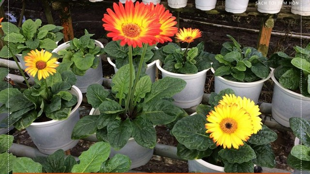 Hướng dẫn kỹ thuật trồng hoa đồng tiền trong chậu đơn giản vẫn cho hoa rực rỡ quanh năm
