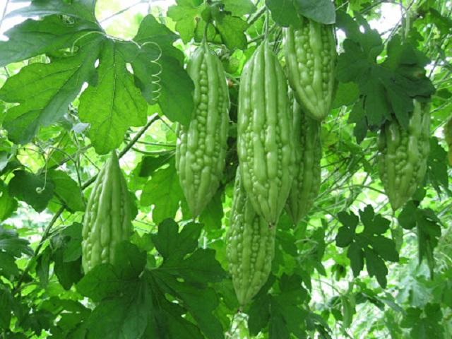 Khổ qua nên trồng vào mùa nắng để cho năng suất cao nhất