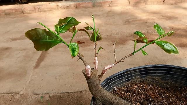 Mai vàng có thể trồng bằng phương pháp ghép cành