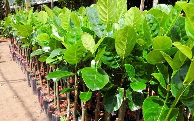 Mít Thái siêu sớm đang là loại cây trồng được nhiều bà con ưa chuộng