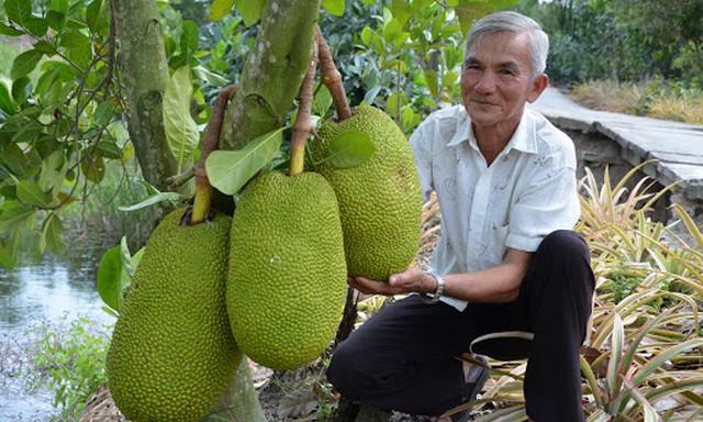 Mít Thái trồng đúng kỹ thuật sẽ cho quả bói sau 3 năm