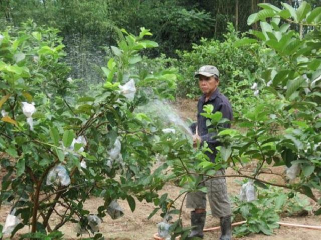 Lượng nước cần tưới cho cây ổi sẽ phụ thuộc vào từng giai đoạn phát triển