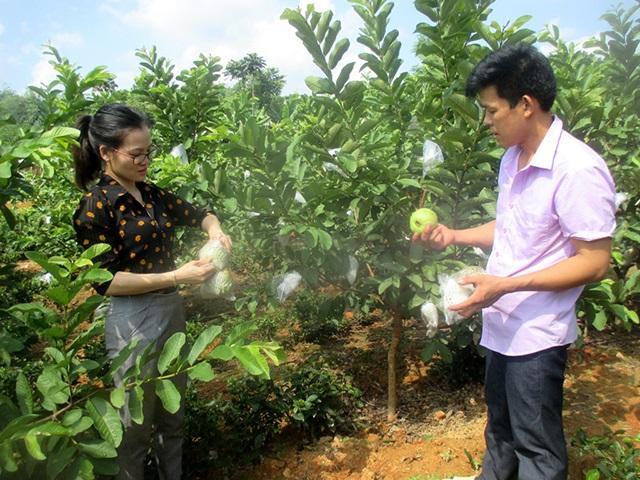 Ổi Đài Loan sau 12 tháng trồng đã bắt đầu cho thu hoạch lần đầu