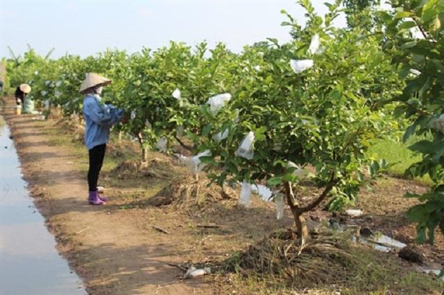 Ổi Đài Loan không chỉ thơm ngon mà còn nhanh thu hoạch hơn các giống ổi khác