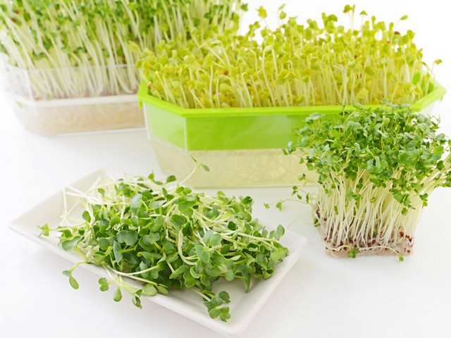 Rau mầm thường được trồng bằng giá thể trong các khay nhỏ