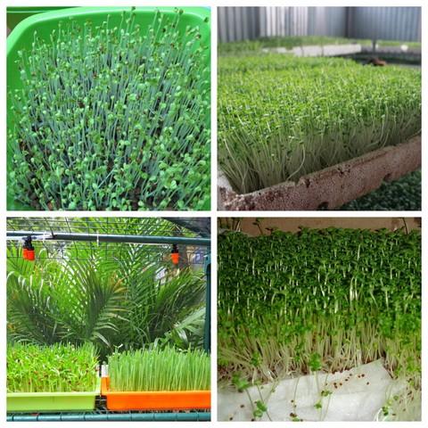 Trồng rau mầm đúng kỹ thuật có thể thu hoạch sau 5 – 7 ngày gieo trồng