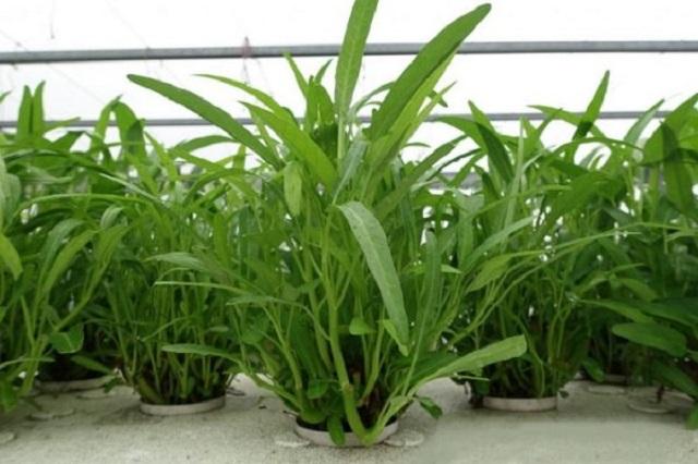 Rau muống khi mới trồng cần được tưới nước đều đặn 2 lần/1 ngày trong suốt 1 tuần đầu