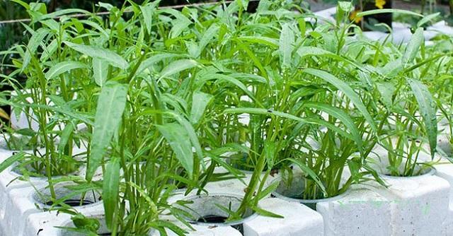Rau muống là loại cây ưa ẩm và ánh sáng mạnh