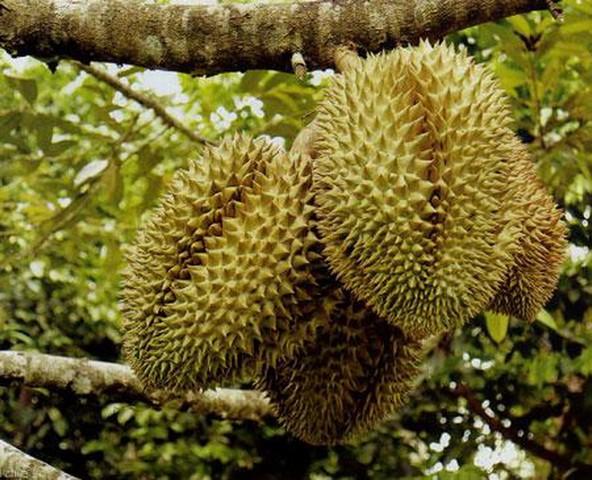 Chia sẻ kỹ thuật trồng sầu riêng cho năng suất và chất lượng cao hàng năm