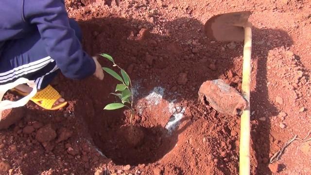 Kỹ thuật đào hố trồng sâu riêng là nền tảng giúp cây sinh trưởng và phát triển tốt