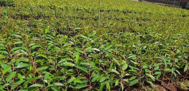 Sầu riêng có thể trồng được bằng cây giống mua tại các vườn ươm uy tín
