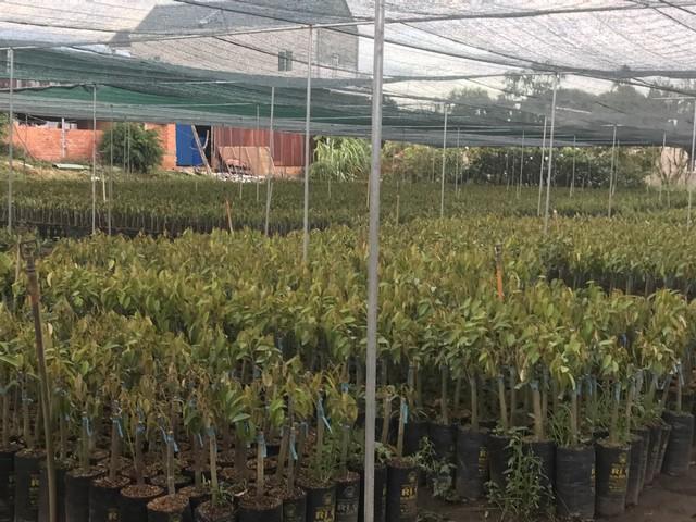 Cây giống sầu riêng Ri6 nên mua tại các vườn ươm lớn có uy tín