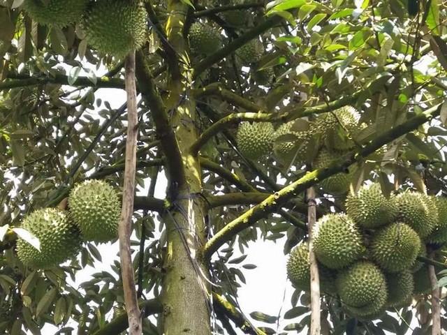 Sầu riêng Ri6 cho trái trung bình từ 2 – 3kg