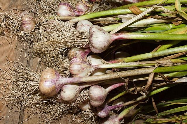 Tỏi có thể được thu hoạch sau 130 ngày kể từ lúc trồng