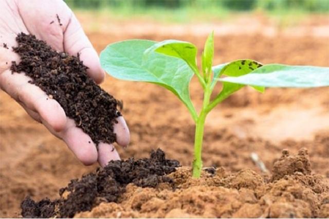 Phân bò ủ hoai được sử dụng khá phổ biến trong ngành nông nghiệp hiện đại