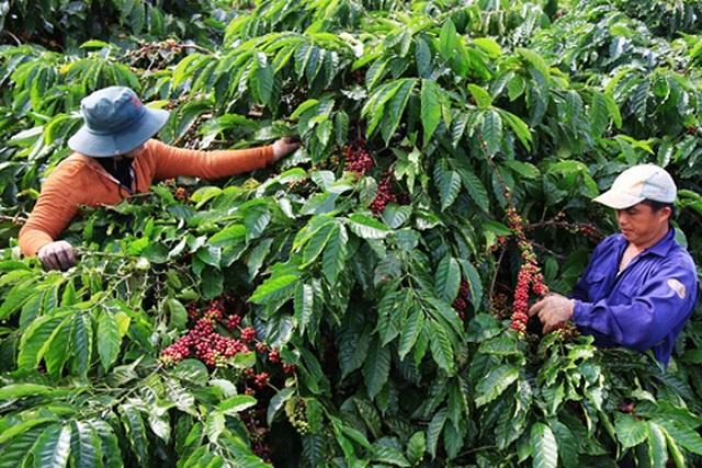 Thị trường cà phê Robusca sẽ còn giảm giá trong những tháng tới do lượng sản phẩm gia tăng ồ ạt