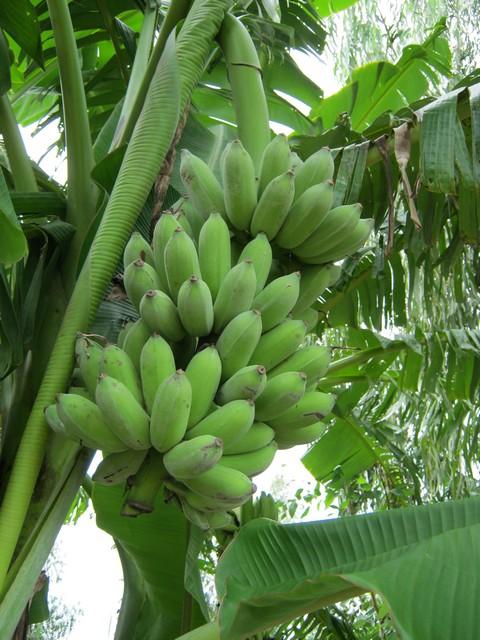 Giới thiệu kỹ thuật trồng chuối sứ đem đến hiệu quả kinh tế cao cho nhà nông
