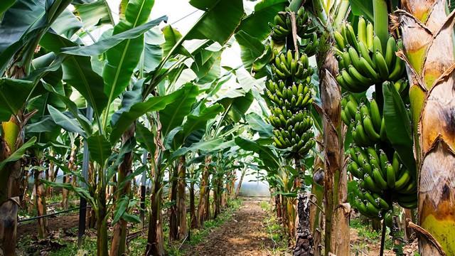 Chuối sứ trồng đúng kỹ thuật sẽ cho thu hoạch sau khoảng 10 tháng trồng