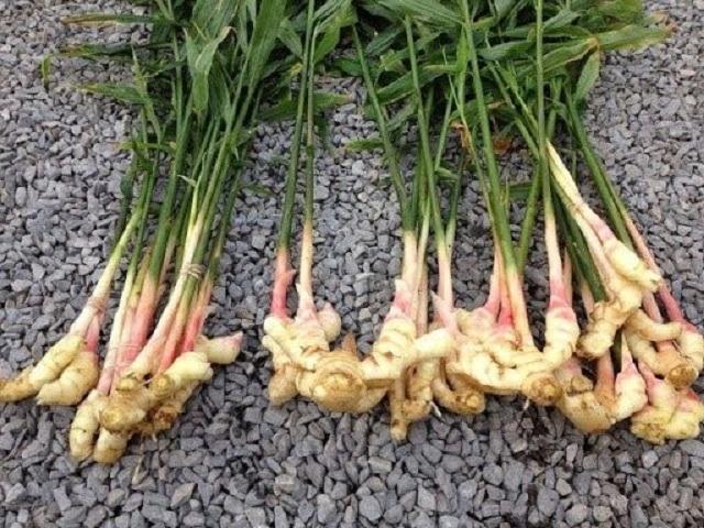 Gừng trâu là loại gừng được trồng nhiều nhất hiện nay