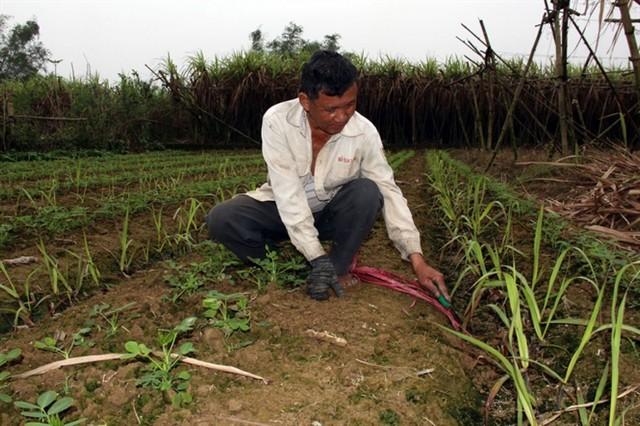 Trồng mía cần chú ý đến mật độ để giúp cây mía sinh trưởng và phát triển tốt nhất