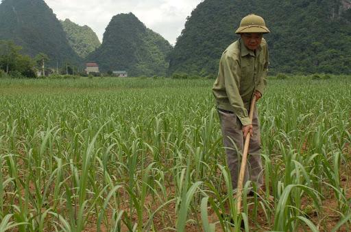 Chú ý thường xuyên làm sach cỏ dại cho mía để phòng chống sâu bệnh