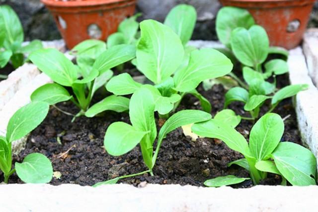 Nên chú ý khoảng cách và mật độ rau cải trồng trong thùng xốp
