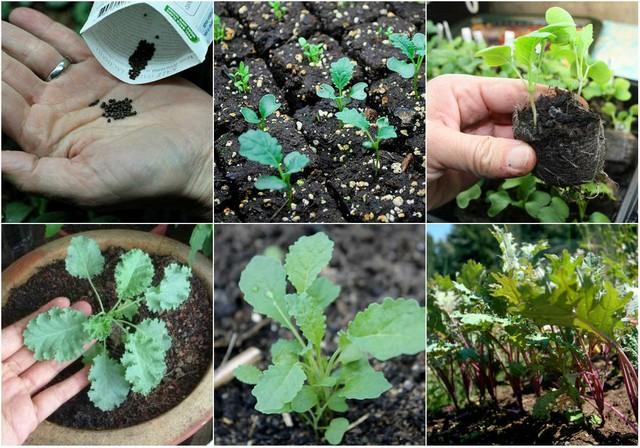 Tùy giống cải bạn chọn mà có thể thu hoạch sau 40 – 45 ngày gieo trồng