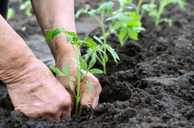 Phân lân nung chảy thúc đẩy hiệu quả quá trình tăng trưởng của cây trồng