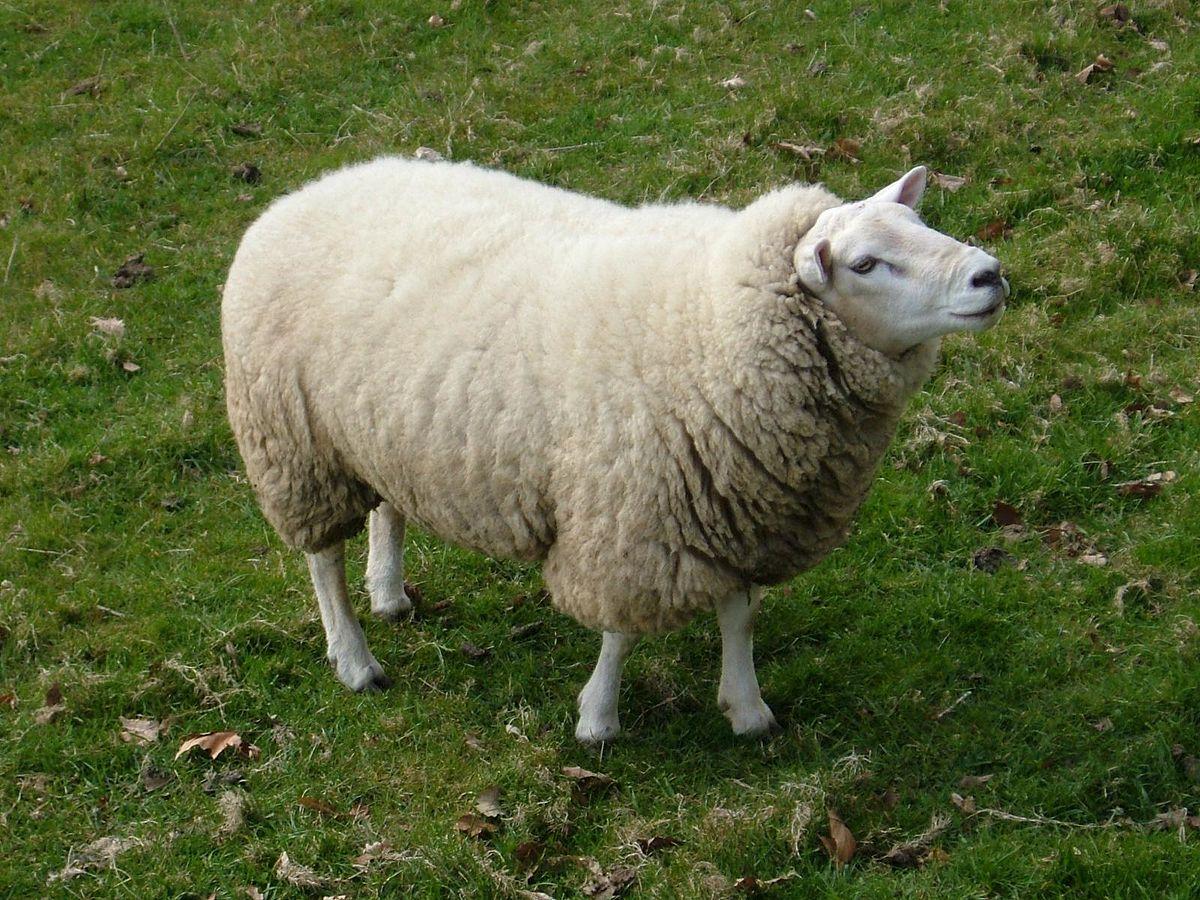 nuôi cừu