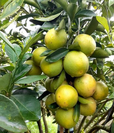 Chia sẻ kỹ thuật trồng cam xoàn cho mùa bội thu