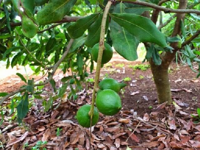 Cần chọn giống tốt để cây sinh trưởng khỏe mạnh, ít bệnh