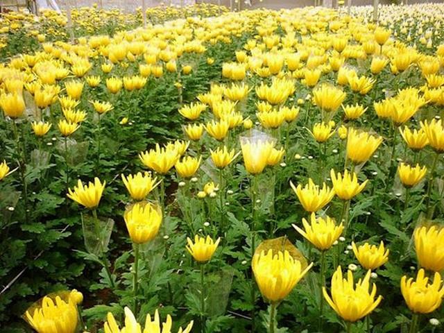Mách nhà vườn kỹ thuật trồng hoa cúc tết đơn giản mà hiệu quả