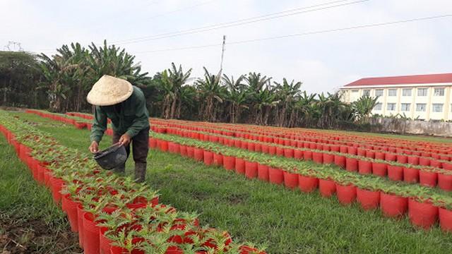 Hoa cúc có thể trồng trên luống hay trồng trong chậu tùy theo nhu cầu nhà vườn