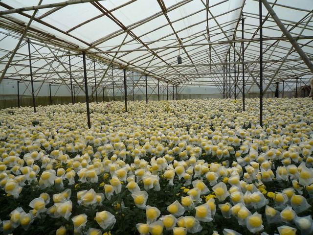 Trồng hoa cúc tết theo mô hình nhà kính đạt hiệu quả cao ở Lâm Đồng