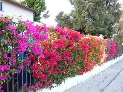 Để cây ra hoa quanh năm và mọc theo ý muốn, người trồng nên tuân thủ theo một số kỹ thuật trồng cây cơ bản