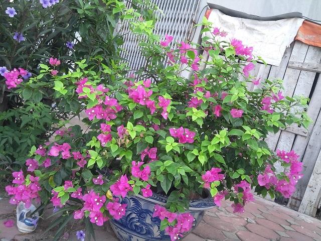 Cây hoa giấy có khá nhiều màu