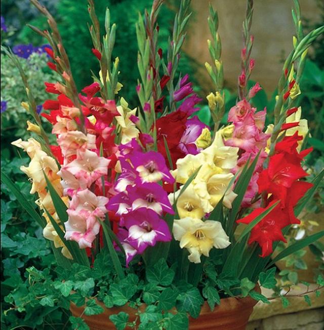 Hoa lay ơntươi rất lâu thường kéo dài từ 10-15 ngày