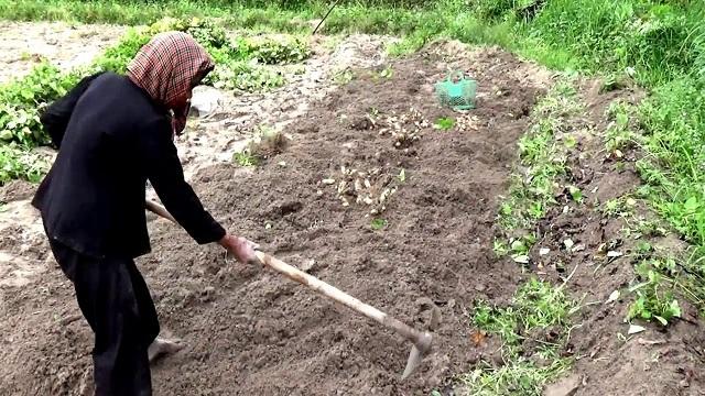 Khoai lang thường được trồng theo luống