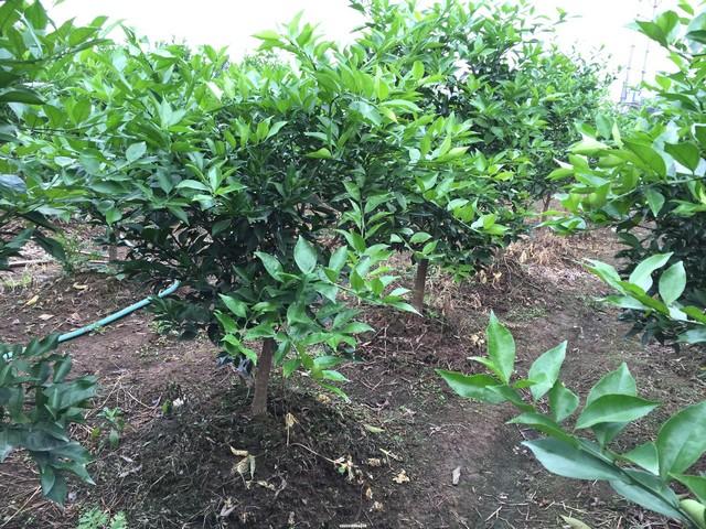 Quanh gốc cây quýt đường nên tạo thành mô đất cao để chống ngập úng