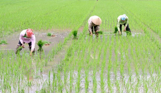 Sau khi cấy để lớp nước nông 3-5 cm nhằm tạo điều kiện cho lúa bén rễ